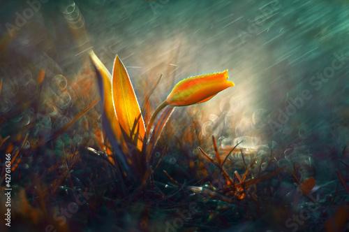 Fototapeta Tulipan w deszczu obraz