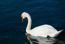 Graceful Mute Swan (Cygnus Olor) Resting In The Lake Reflecting On The Blue Water