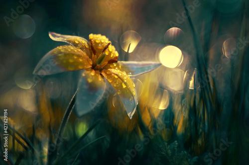 Fototapeta Tulipan botaniczny obraz