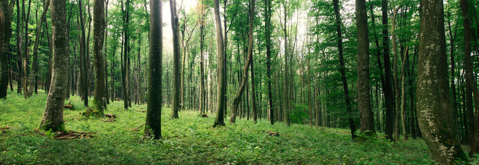 green forest panorama in spring
