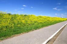満開の菜の花咲く江戸川土手とサイクリング道路風景