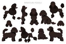 Miniature Poodle Clipart. Different Poses, Coat Colors Set
