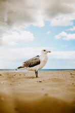 Möwe Am Strand Von Usedom