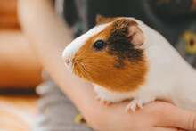 The Guinea Pig On His Hands