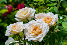 Close-up Of A Cluster Of Soft Cream Flowers Of The Lions Rose Variety. Natural Floral Background With Blooming Rose Bush On A Flower Bed In A Garden Or Park In The Open Air