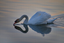 The Photo Shows A Swan Drinking Water