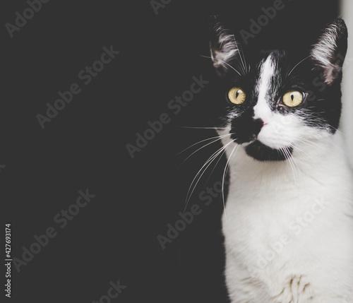 Fototapeta Czarno biały kot na ciemnym tle obraz