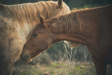 Profile View Of Two Domestic Horses Crossing Heads