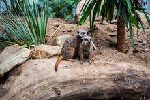 Portrait Of Meerkats Sitting On Tree