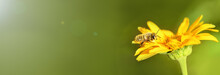 Bee And Flower. Close Up Of A Large Striped Bee Collecting Pollen On A Yellow Flower On A Sunny Bright Day. Summer And Spring Backgrounds. Banner