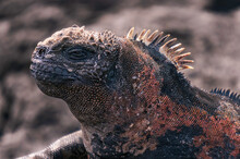 Close-up Of The Spiky Head Of A Marine Iguana On One Of The Galápagos Islands.