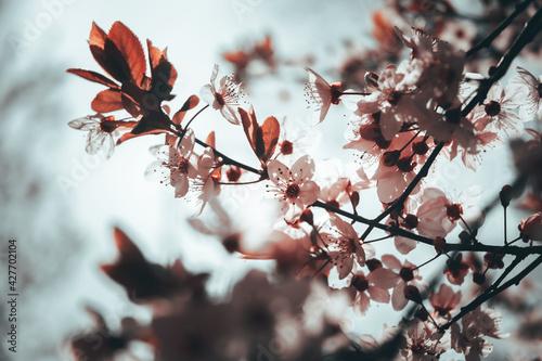 Papel de parede Almendro (flor)