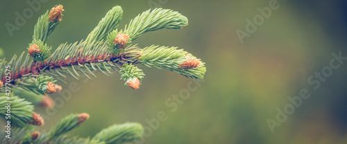 Fototapeta Fresh green pine branch spring background obraz