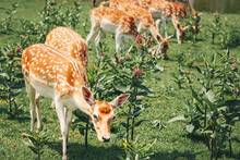 Group Of Young Fallow Deer Eating Grazing Grass On Summer Outdoor. Herd Animals Dama Dama Feeding