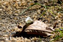 Green-veined White Butterfly Perched On Brown Leaf In Zurich, Switzerland.