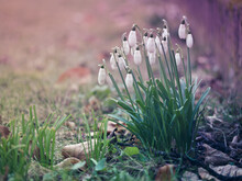 Close-up Of Snowdrop On Field