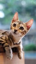 Close-up Portrait Of Bengal Cat