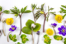 Composition Of Forest Flowers Made With Wind-flower, Hepatica, Coltsfoot And Golden Saxifrage On White Background. Springtime Concept. Cloeseup. Flat Lay.