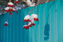 Red Berries Hanging On Plant During Winter