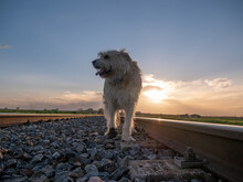 Shot Of Long Haired Brown Shepherd Dog Walking On The Railroad On Sunset