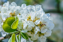White Blossom Of An Apple Tree In The Sunshine. Open Flowers In Detail. Petals, Flower Stems, Reddish Pistils And Green Leaves On A Branch Of The Fruit Tree