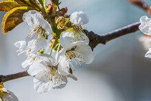 Apple Blossoms In Spring. Branch From Fruit Tree In Sunshine. White Flowers When Open With Reddish Pistils, Green Flower Stems And Green Leaves. Details From The Branch Of An Apple Tree