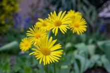 Doronicum Orientale Leopards Bane Bright Yellow Spring Flowers In Bloom, Ornamental Garden Flowering Plant