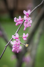 Redbud Tree With  Pink Blossoms In Spring