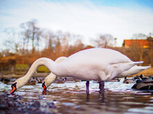 Side View Of Swans In Water