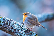 Close-up Of Robin Bird Perching On Snow
