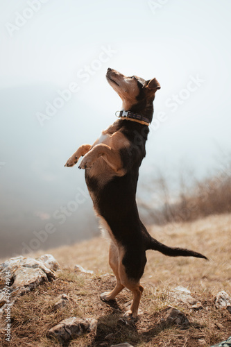 adorable dachshund terrier crossbreed dog with short legs standing on her hind l Fototapet