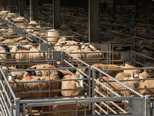 Yorkshire Live Stock Sheep And Cattle Market