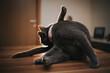 Leinwandbild Motiv Closeup shot of a cute grey cat playing while lying on the floor