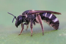 Closeup Of A Wed Female Furrow Banded Sweat Bee (Lasioglossum Zonulum) On A Green Leaf