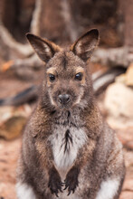 Portrait Of Kangaroo Outdoors