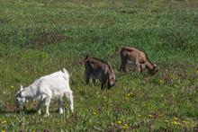 Young Goats. (Capra Aegagrus Hircus. )