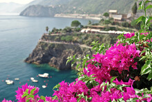 Close-up Of Pink Flowering Plants By Sea In Manarola.