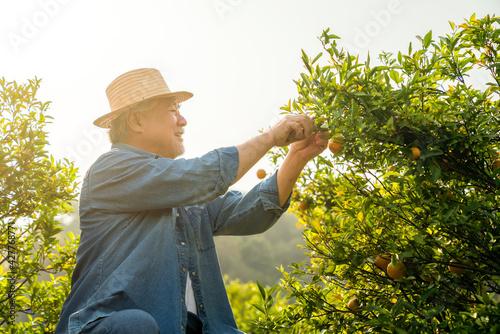 Fototapeta Happy Asian senior man farmer working and picking organic orange fruit in orange orchard. Elderly male farm owner preparing to harvest ripe orange. Agriculture product industry with technology concept obraz
