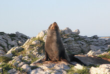 Brown Furry Seal Laying On The Rocky Sea Shore Off The South Pacific Coast Of New Zealand