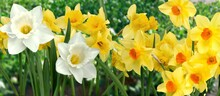 Daffodil.