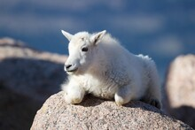 White Goat Rests On The Mountain Rock