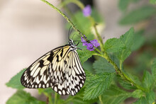 Paper Kite Butterfly Idea Leuconoe Perches On A Flower