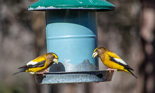 Two Grosbeaks Chatting Over Lunch At The Feeder