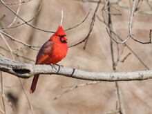 Closeup Shot Of A Beautiful Northern Cardinal The Redbird Sitting On A Branch Of A Tree