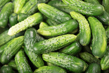 Organic Products, Healthy Food, Harvesting For Future Use, Pickling Vegetables, Pickling Cucumbers. Lot Of Young Cucumbers As Background