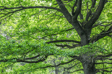 Very Old Big Oak Tree With Green Lush Foliage. Nature Scenic Spring Landscape Photography.