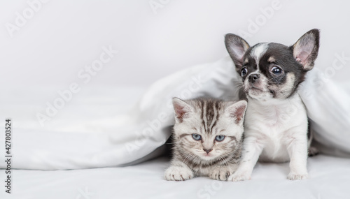 Fotografie, Obraz Tiny Chihuahua puppy and tabby kitten sit  together under white warm blanket on a bed at home