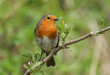 A stunning Robin, Erithacus rubecula, perched on a branch in a tree.