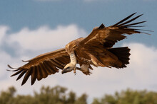 Low Angle View Of Griffon Vulture Flying