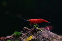 Close-up Of Red Shrimp On Submerged Wood